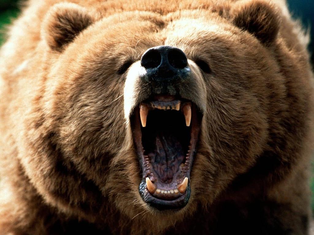 grizzly bear (cc photo: vanderfrog)