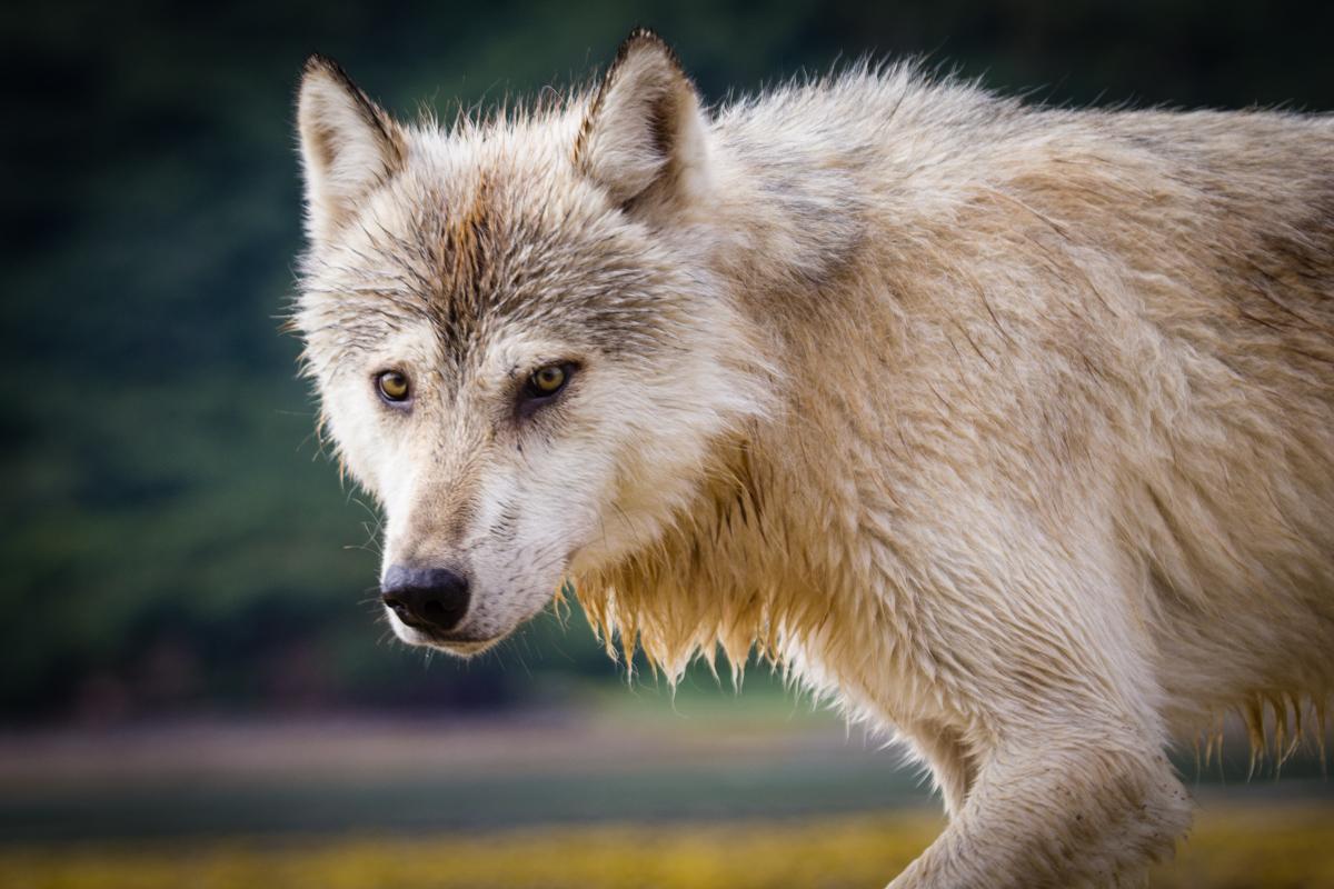 Grey Wolf (photo: NPS)