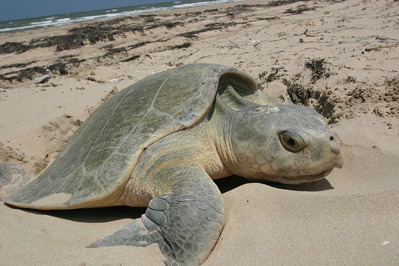 Ridley's sea turtle (photo: NPS)
